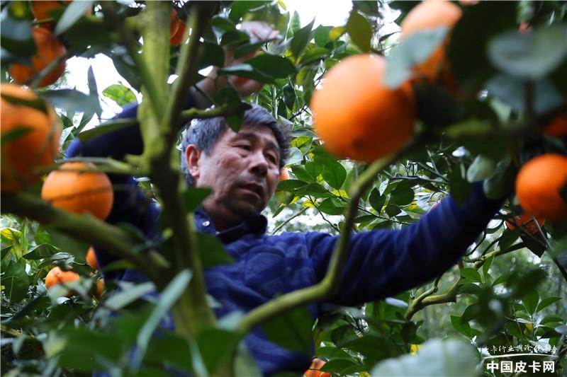 新·探微皮卡人——宝典皮卡是脱贫橙、致富橙的幕后英雄