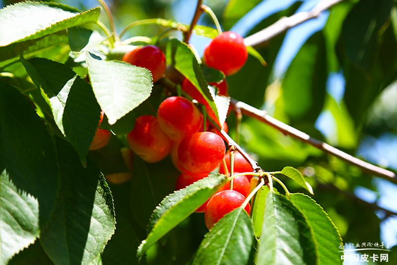 新·探微皮卡人——美味樱桃美丽心情 域虎9承载美好生活
